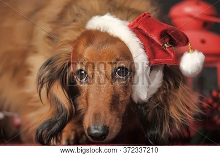 Long -haired Dachshund In A Christmas Hat