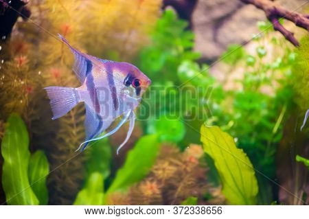 Aquarium Scalare Fish Floating In The Water Between Plants. Pterophyllum Scalare, Also Referred To A