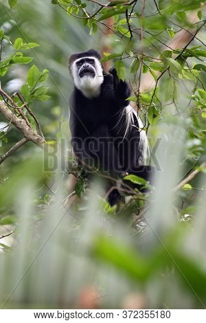 The Mantled Guereza (colobus Guereza), Also Known Simply As The Guereza, The Eastern Black-and-white