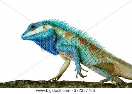 Exotic Blue Lizard Isolated On White Background In Strength Stare
