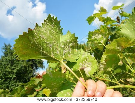 A Close-up On A Grapevine Leaves Infected With A Powdery Mildew, Downy Mildew, Yellow Spots Which Ne
