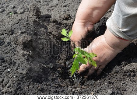 A Gardener Is Planting Tomato Seedling Into Soil In The Kitchen Garden In Spring To Grow Tomatoes At