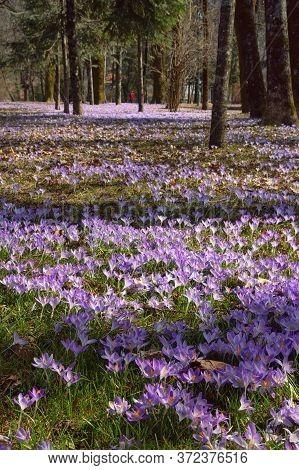 Springtime. Sunny Spring Day In Park. Crocus Flowers (crocus Vernus). Montenegro. Cetinje City
