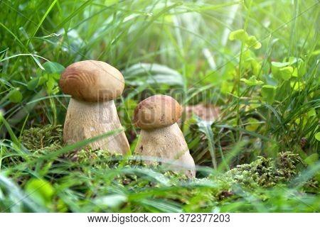 Mushrooms Boletus Edulis ( Penny Bun, Cep, Porcino, Porcini, White Mushroom ) Growing In Grass In Fo