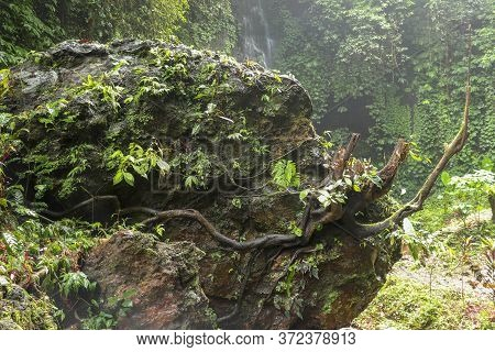 Huge Boulder Covered With Moss And Tropical Plants. Strong Roots Of The Old Tree Creep Around The Pe