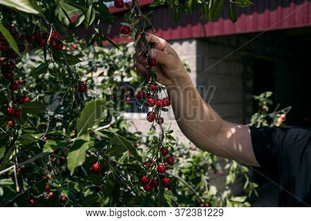 Young Man Picks Cherries.a Man Collects Ripe Red Cherries From A Cherry Tree