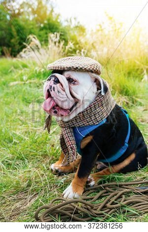 Black And White English/british Bulldog Dog Wearing A Cap Out For A Walk Sitting In The Grass