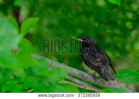 Common Starling On A Branch On A Summer Day. Heavily Blurred Green Background. Beautiful Warbler Wit