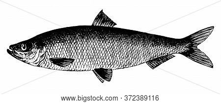 Herring Atlantic, Fish Collection. Healthy Lifestyle, Delicious Food. Hand-drawn Images, Black And W