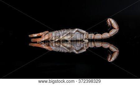 Scorpion (lychas Tricarinatus) Photo Shoot With Reflection