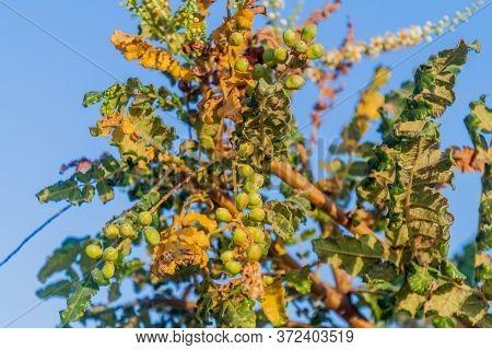 Detail Of Frankincense Tree Boswellia Sacra Near Salalah, Oman