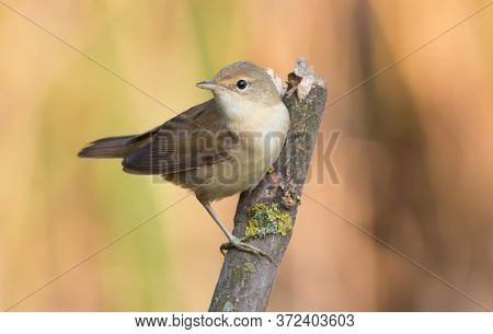 Eurasian Reed Warbler, Acrocephalus Scirpaceus. Early Morning, An Adult Bird Sits On A Beautiful Dry