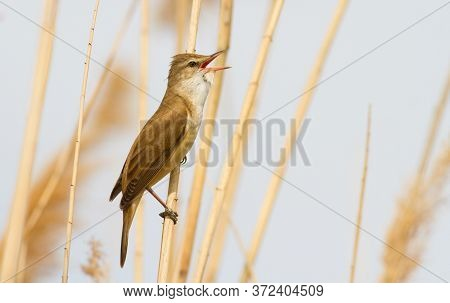 Great Reed Warbler, Acrocephalus Arundinaceus. A Bird Sits On A Reed Stalk By The River And Sings