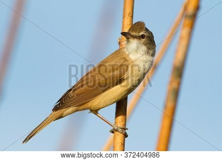 Great Reed Warbler, Acrocephalus Arundinaceus. A Bird Sits On A Reed Stalk By The River