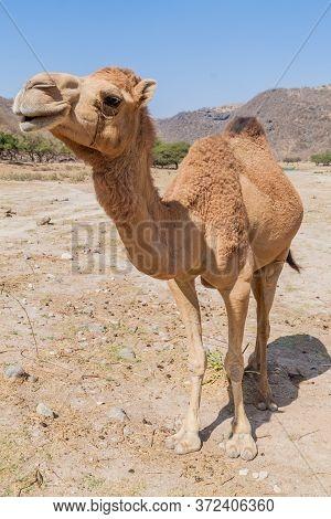 Camel At Wadi Dharbat Near Salalah, Oman