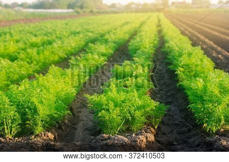 Plantations Of Young Carrots Grow In The Field On A Sunny Day. Vegetable Rows. Growing Vegetables. F