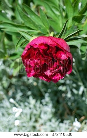 Peony Flower In Spring Garden With Raindrops On Red Petals
