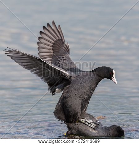 Two Black Coots (fulica Atra) During  Copulation In Water