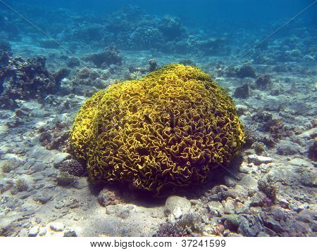 coral reef with single great yellow cup  coral at the bottom of red sea in egipt poster