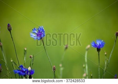 Blue Wildflower Cornflower. Wild Flowers. Natural Green Background. Cornflowers. Nature. Summer Wild