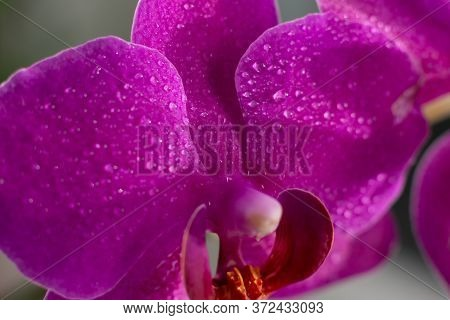 Close Up View Of Beautiful Orchid Flowers In Bright Magenta Color. Phalaenopsis Orchid Cultivation A