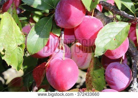 Common Plum(prunus Domestica) Fruit On Plum Tree In The Garden