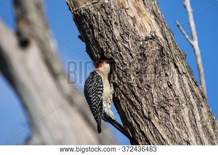 Red Bellied Woodpecker Sticking His Head Inside A Hole In The Side Of A Tree As It Feeds Its Babies