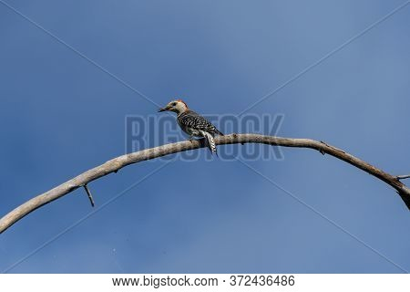 A Male Red Bellied Woodpecker With Food In Its Beak While Standing On A Bare Branch In A Tree Lookin