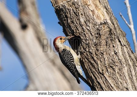 Red Bellied Woodpecker Clinging To Side Of Tree By The Opening For Its Nest With Its Beak Full Of Fo