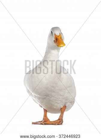 Healthy White Adult Peking Duck, Standing Facing Front. Looking Towards Camera, Isolated On White Ba