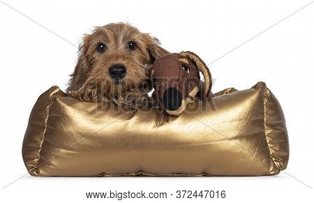 Adorable Wirehair Kanninchen Dachshund Pup, Laying Over Edge Of Golden Basket With Fake Fur Toy Frie