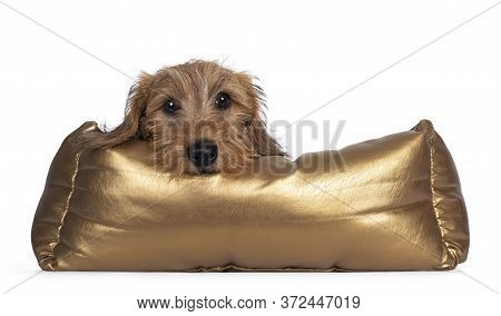 Adorable Wirehair Kanninchen Dachshund Pup, Laying Over Edge Of Golden Basket. Looking Straight At C