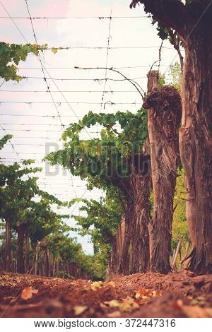 Grapevines On A Vineyard Estate In Mendoza, Argentina. Wine Industry, Agriculture Background.
