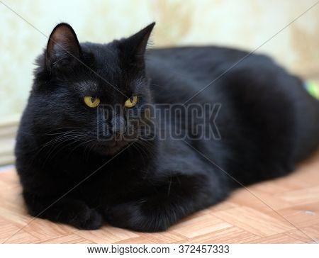 Black Yellow Eyed Shorthair Cat Close Up