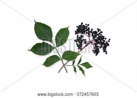 Cluster Fruits Black Elderberry And Leaves On A White Background. Common Names: Elder, Black Elder,