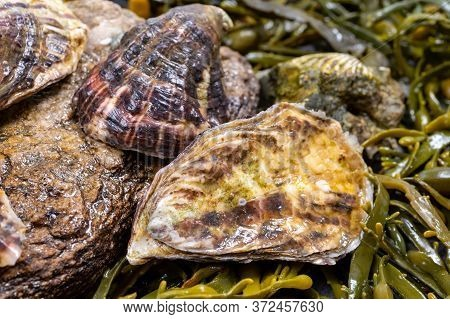 Fresh Pacific Or Japanese Oysters Molluscs On Stone With Kelp Seaweed Background