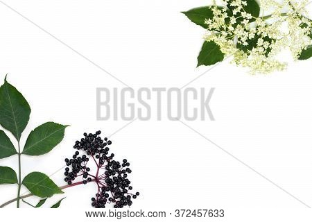 Frame Of Blossom And Fruit Black Elderberry (sambucus ) On A White Background With Space For Text. C
