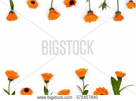 Flowers Calendula ( Calendula Officinalis, Pot Marigold, Ruddles, Garden Marigold ) On A White Backg