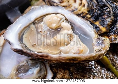 Fresh Pacific Or Japanese Oysters Molluscs Shucked On Stone With Kelp Seaweed Background Ready To Ea