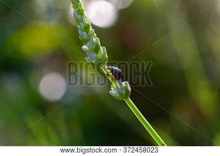 Lavender Plant Afffected By Chrysolina Americana Or Rosemary Beetle Close Up