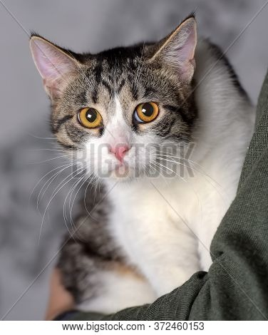 Young Tabby With A White Cat In The Arms Of The Mistress