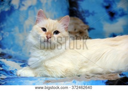 White Fluffy Thai Cat Lying On The Couch At Home