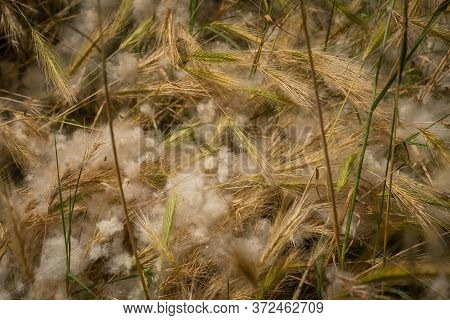Image Of Poplar Fluff In The Parks Of Rome, Italy