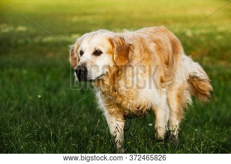 Labrador Retriever Dog. Golden Retriever Dog On Grass. Adorable Dog In Poppy Flowers.
