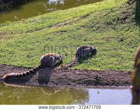 A Couple Of Lemurs Eating Grass. High Quality Photo