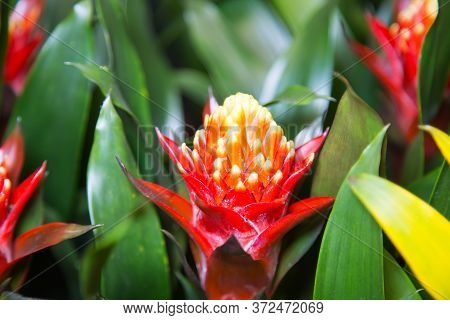 Flower Bright Red Yellow Bromeliaceae On A Background Of Green Leaves. Flowers, Floriculture, Agricu