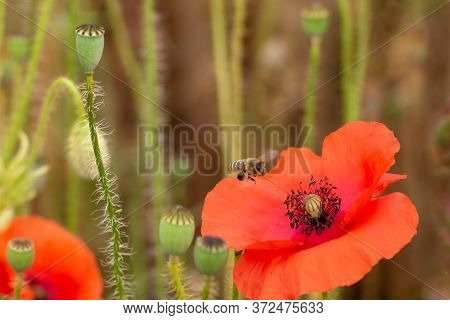 Pollinating Bee Landing On Red Poppy Flower. Multiple Already Pollinated Flowers In The Background.