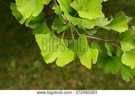 Ginkgo Biloba Green Leaves On A Tree. Ginkgo Biloba Tree Leaves On Dark Background.