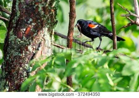 Male Red-winged Blackbird (agelaius Phoeniceus) Perched On A Branch With Dragonfly In Its Beak For I