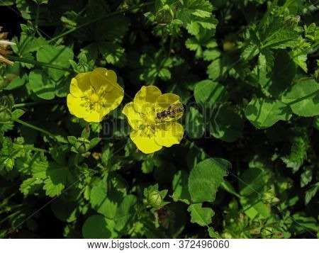 Two Yellow Wildflower In Garden At Sunny Spring Day In Gilan, Iran. Spring Flower With An Insect On